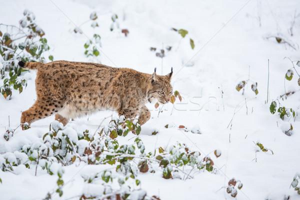 Eurasian Lynx (Lynx lynx) walking quietly in snow Stock photo © lightpoet