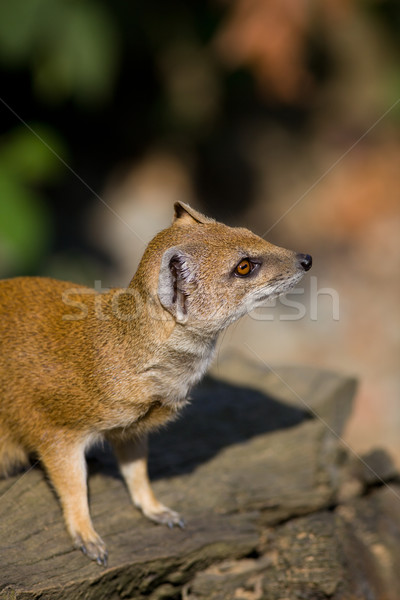 yellow mongoose - really clever and cute prairie animal  Stock photo © lightpoet