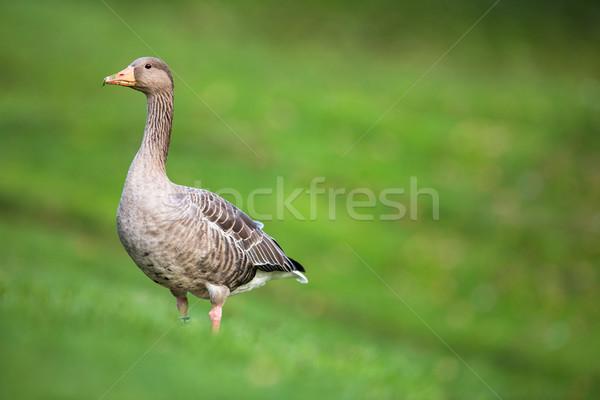 Greylag Goose, Anser anser Stock photo © lightpoet