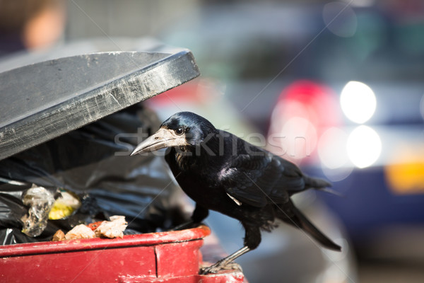Raven feeding on rubbish in a city Stock photo © lightpoet
