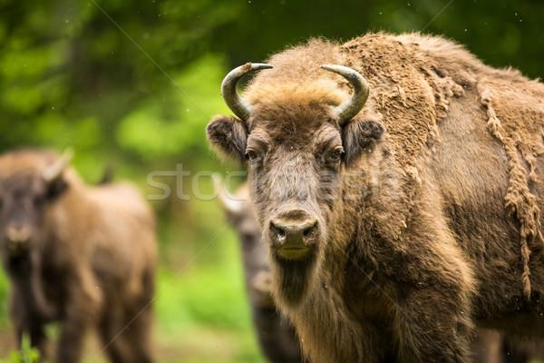 European bison (Bison bonasus) Stock photo © lightpoet