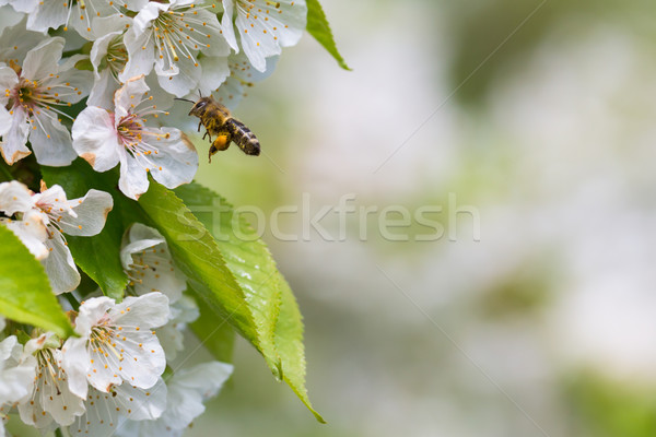 Abeille vol floraison cerise arbre jardin Photo stock © lightpoet