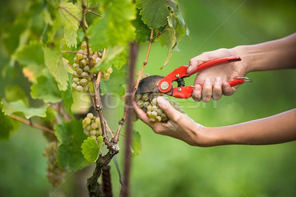 Hands of a female vintner harvesting white vine grapes Stock photo © lightpoet