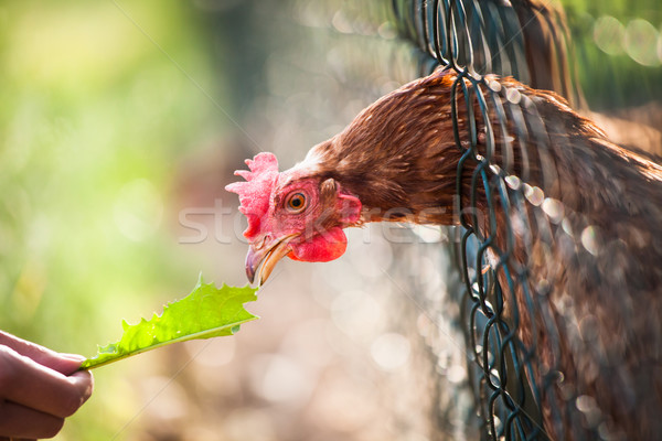 hen in a farmyard (Gallus gallus domesticus)  Stock photo © lightpoet