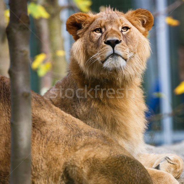 Portrait majestueux yeux fond lion Photo stock © lightpoet