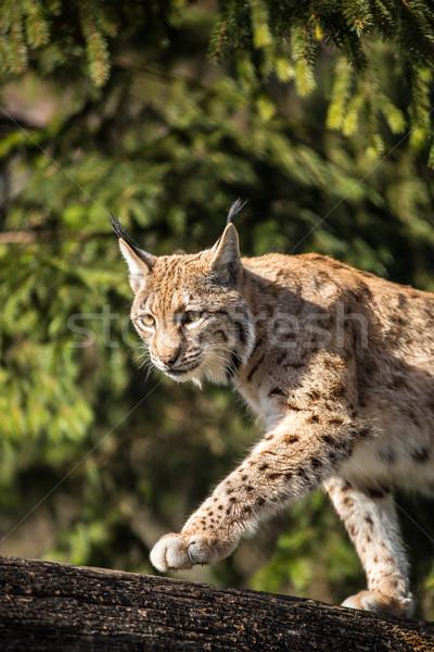 Eurasian Lynx  Stock photo © lightpoet