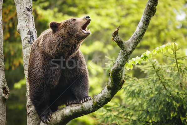Brown bear (Ursus arctos), sitting on a tree, screaming loudly Stock photo © lightpoet