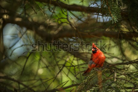 Northern cardinal (Cardinalis cardinals) Stock photo © lightpoet
