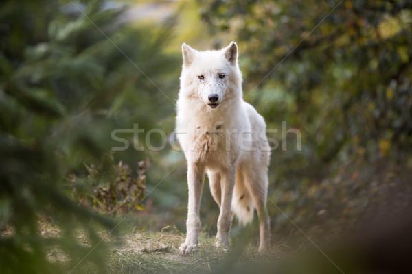 ártico lobo olhando câmera animal cair Foto stock © lightpoet