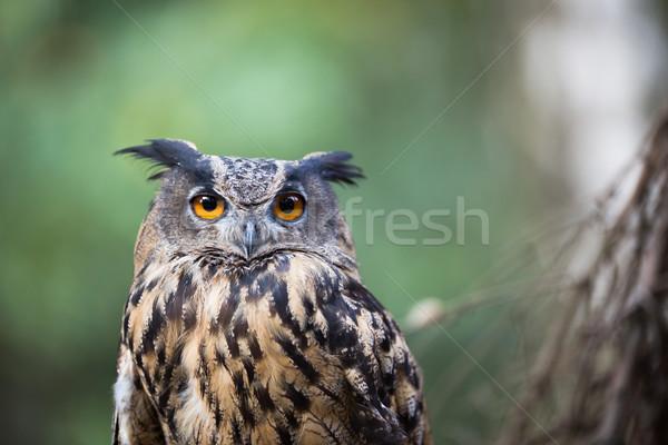 Primer plano aves noche retrato cabeza Europa Foto stock © lightpoet