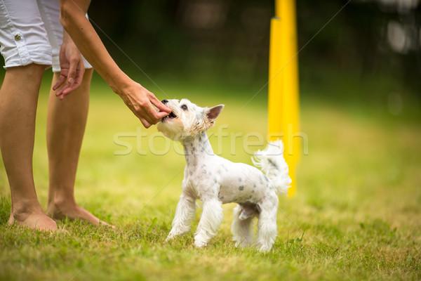 かわいい 犬 アジリティ ドリル を実行して ストックフォト © lightpoet