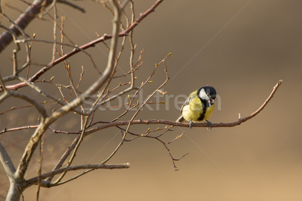 Great tit perched on a branch, singing - talking to his mate Stock photo © lightpoet