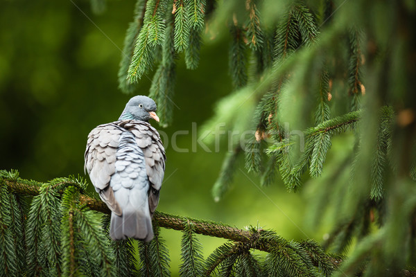 Common Wood Pigeon (Columba palumbus) Stock photo © lightpoet
