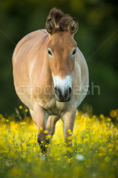 Przewalski horse grazing on a lovely meadow Stock photo © lightpoet