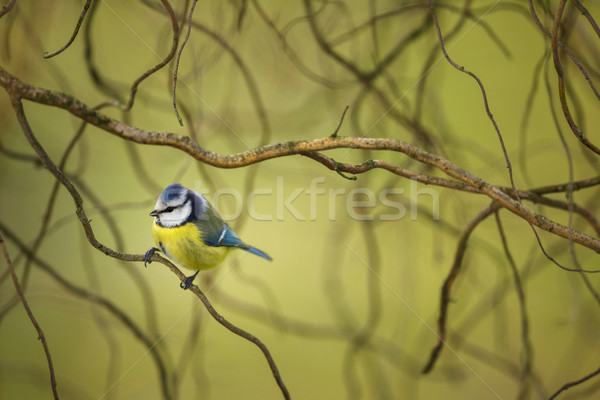 Stock photo: Tiny Blue tit on a feeder in a garden, hungry during winter
