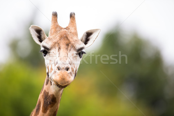 Giraffe (Giraffa camelopardalis) Stock photo © lightpoet