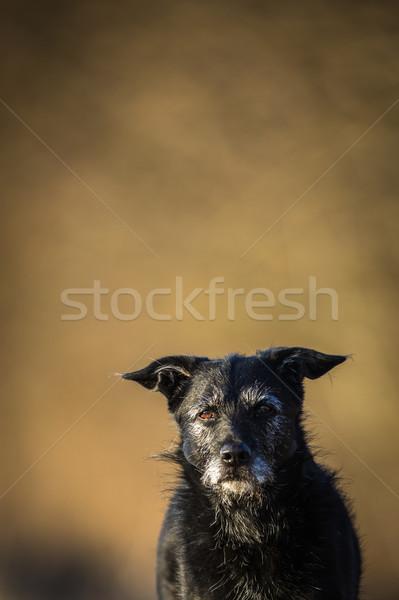 Cute black dog outdoors looking at the camera Stock photo © lightpoet