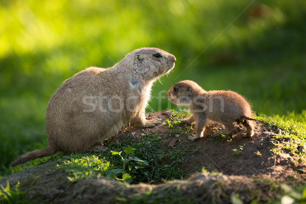 Cute black tailed prairie dog with a youngster (Cynomys ludovici Stock photo © lightpoet