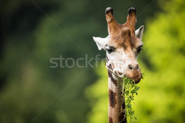 Giraffe Stock photo © lightpoet