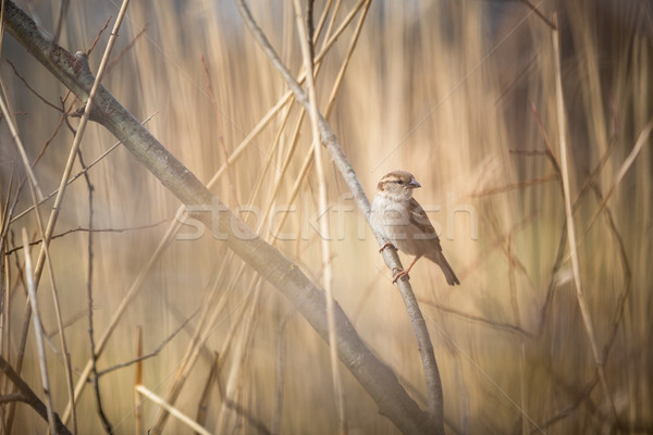 House Sparrow (Passer domesticus) Stock photo © lightpoet