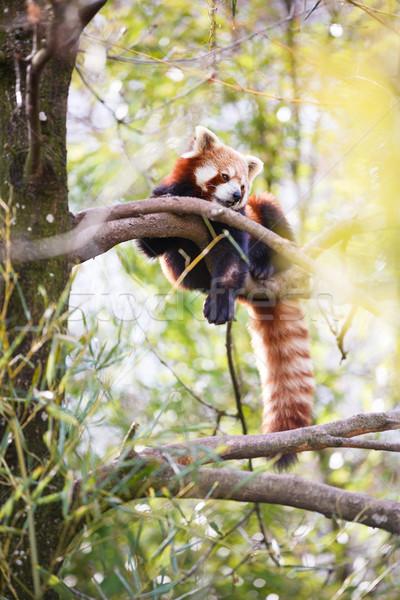 Red panda (Ailurus fulgens, lit. 'shining cat') Stock photo © lightpoet