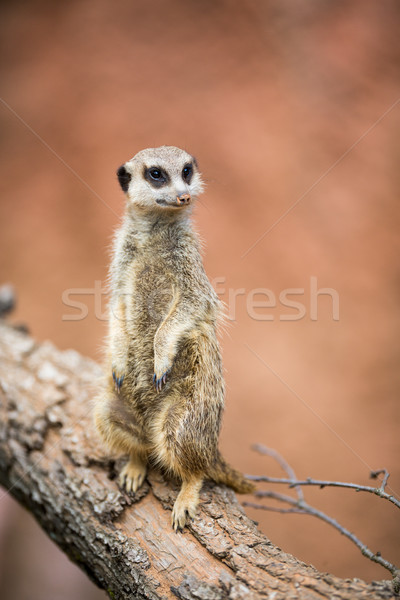 Watchful meerkat standing guard Stock photo © lightpoet