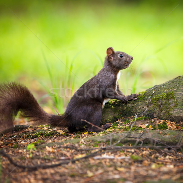 Closeup of a red squirrel (Sciurus vulgaris) Stock photo © lightpoet