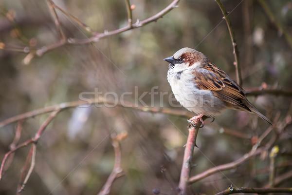家 スズメ 鳥 動物 男性 支店 ストックフォト © lightpoet