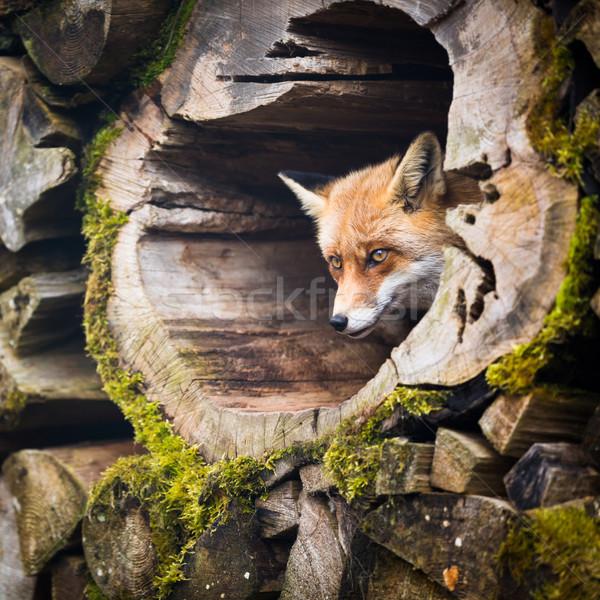 Red Fox (Vulpes vulpes) Stock photo © lightpoet