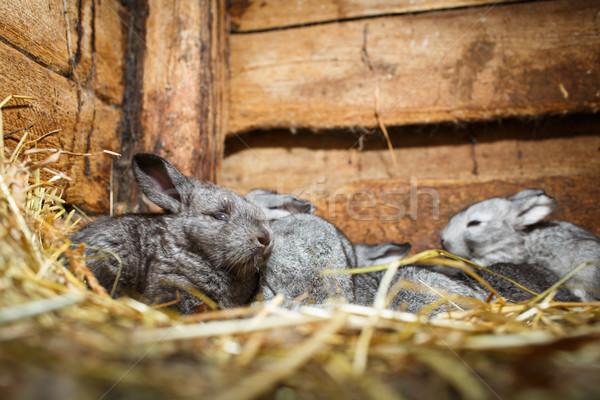 かわいい ウサギ 外に 小さな ウサギ ヨーロッパの ストックフォト © lightpoet