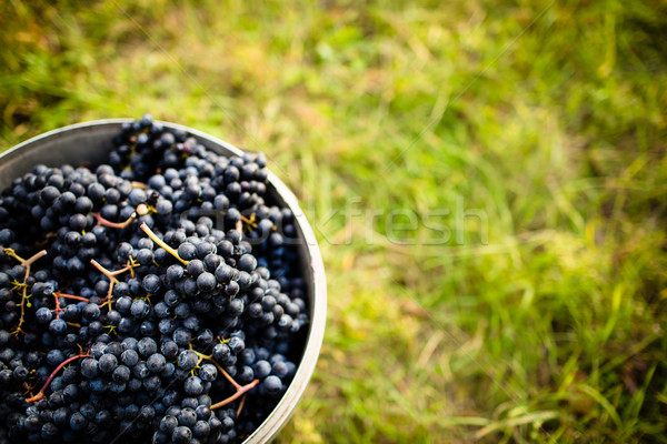 Freshly harvested red grapes in a pannier on a  vineyard  Stock photo © lightpoet