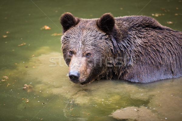 Bruine beer boom zomer leuk zwarte vrede Stockfoto © lightpoet