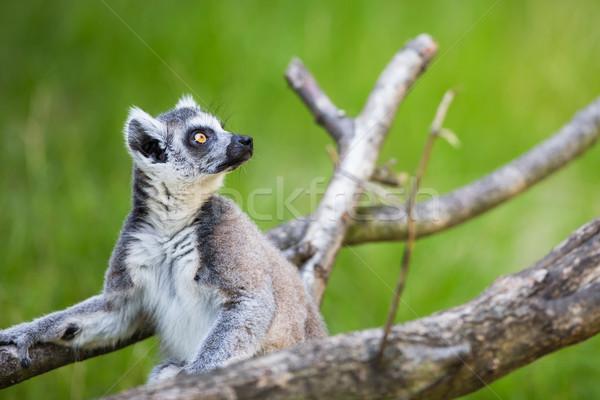 Lemur kata Stock photo © lightpoet