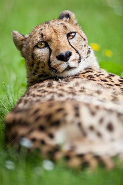 çita çim gözler doğa portre siyah Stok fotoğraf © lightpoet