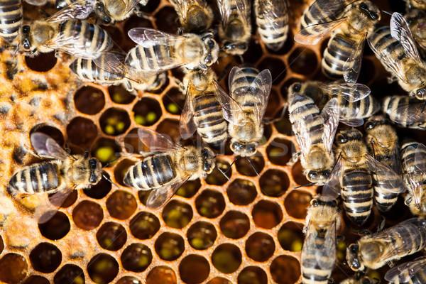 Makro atış arılar petek bahçe işçi Stok fotoğraf © lightpoet