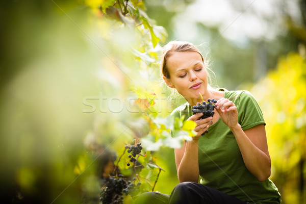 Woman picking grape during wine harvest Stock photo © lightpoet