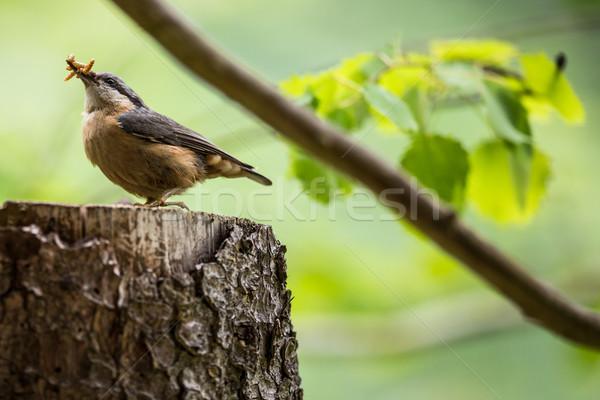 Volwassen lunch boom bos achtergrond oranje Stockfoto © lightpoet