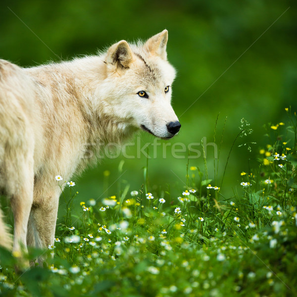 Arctic Wolf (Canis lupus arctos) aka Polar Wolf or White Wolf -  Stock photo © lightpoet