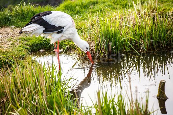 White stork hunting Stock photo © lightpoet