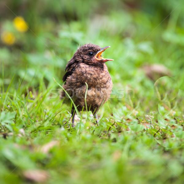 Primer plano bebé mirlo ojo naturaleza aves Foto stock © lightpoet
