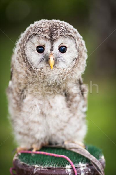 Close up of a baby Tawny Owl (Strix aluco) Stock photo © lightpoet