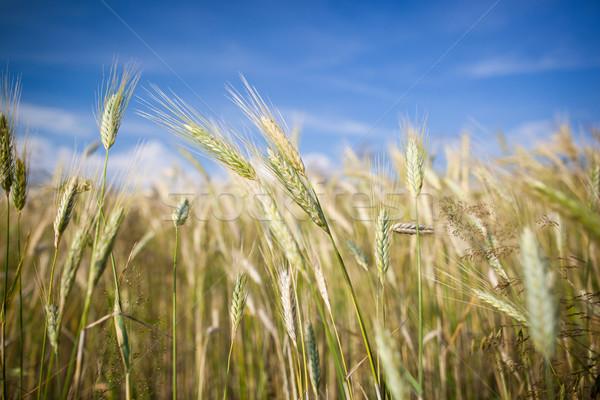 Kłosie dojrzały jęczmień rozwój gospodarstwa dziedzinie Zdjęcia stock © lightpoet