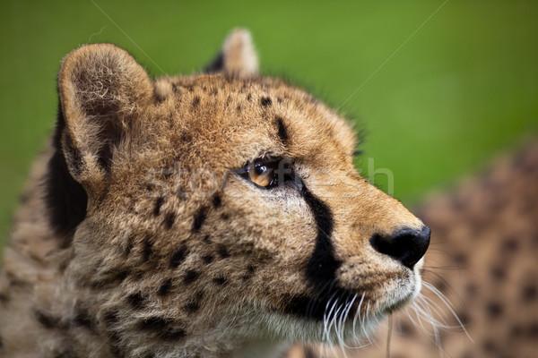 Leopardo grama olhos natureza retrato preto Foto stock © lightpoet