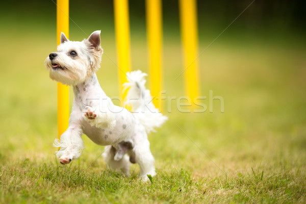 Cute little dog doing agility drill Stock photo © lightpoet