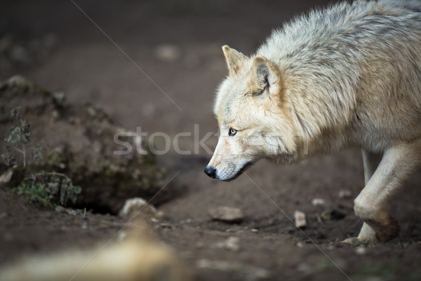 Arctic Wolf (Canis lupus arctos) aka Polar Wolf or White Wolf  Stock photo © lightpoet