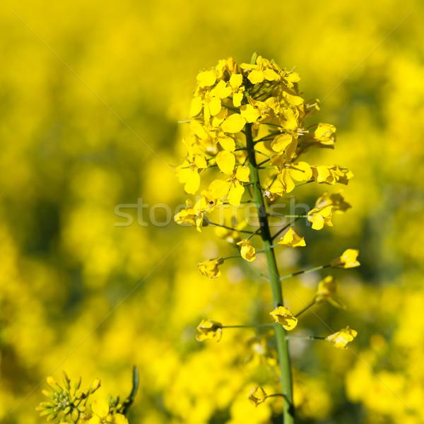 Printemps herbe fond été domaine ferme Photo stock © lightpoet