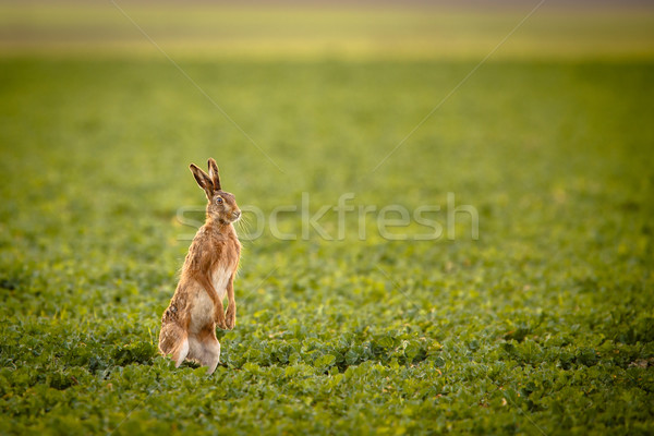 Brown hare (lepus europaeus)  Stock photo © lightpoet