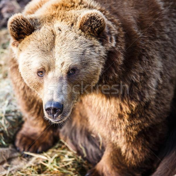 Bruine beer water gezicht mond zwarte boos Stockfoto © lightpoet