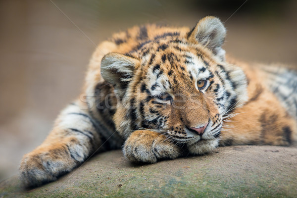 Cute tiger cub resting lazily Stock photo © lightpoet