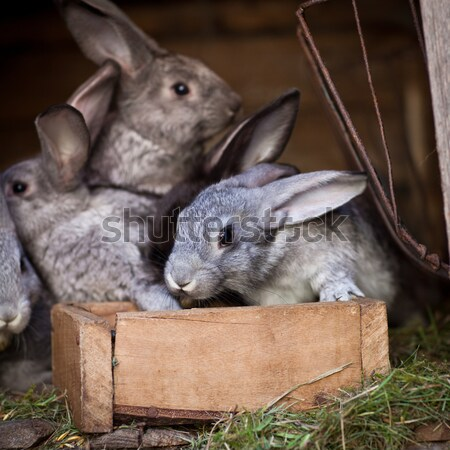 Stock photo: Young rabbits popping out of a hutch